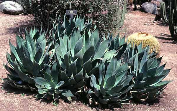 Agave Blue Flame