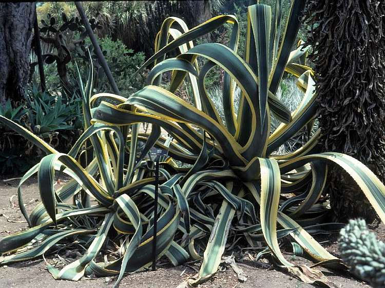 agave page agave americana var picta agave americana var picta