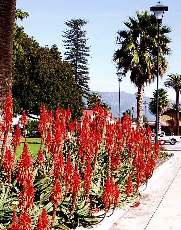 Aloe Arborescens In Santa Barbara