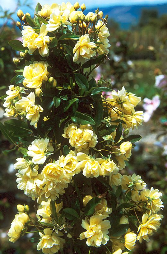 San Marcos Growers >Rosa banksiae \'Lutea\'