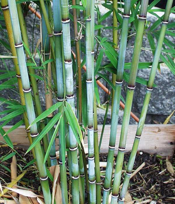 Blue Bamboo in California