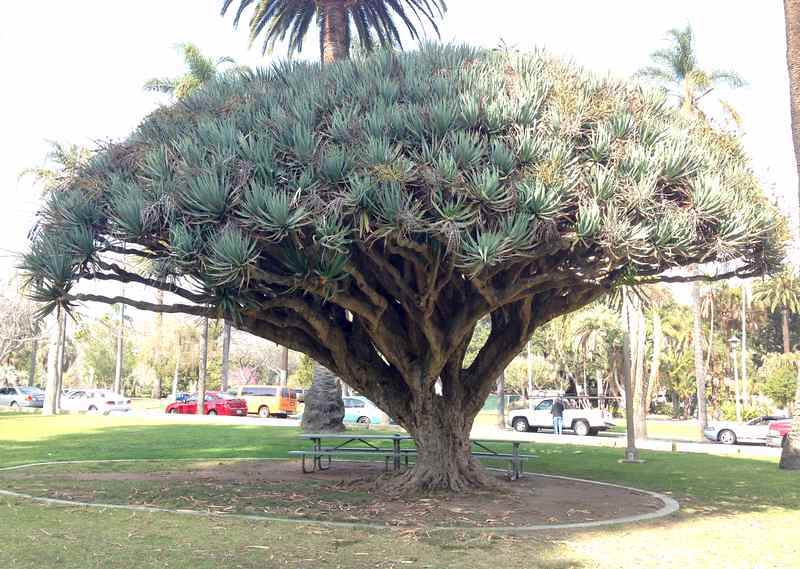 Santa Barbara Dragon Tree