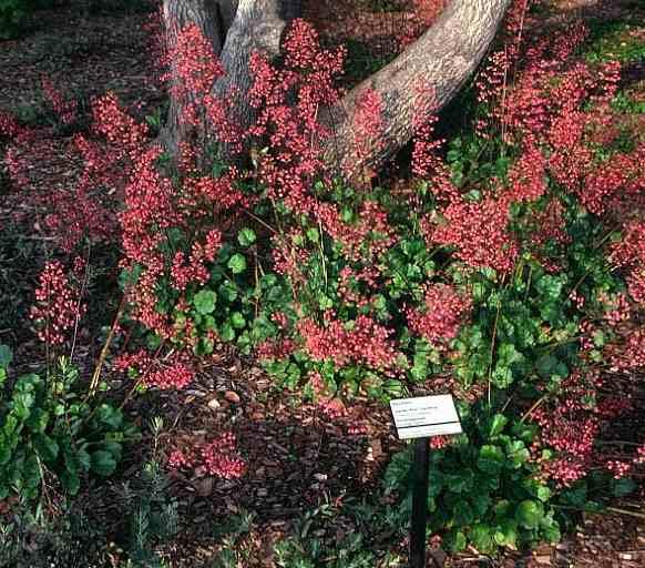 Rancho Santa Ana Botanic Garden Heuchera