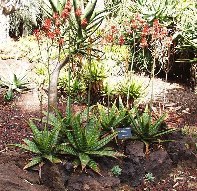 San marcos growers lotusland aloe garden 4 for Garden information sites