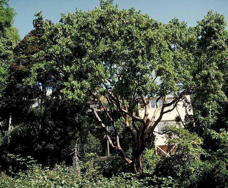 Cinnamon Bark Tree