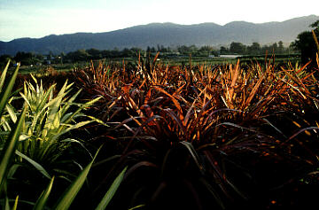 New Zealand Flax Field
