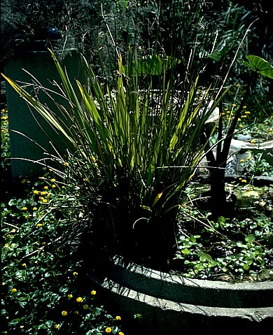 Phormium Apricot Queen in water
