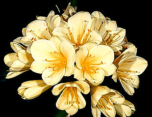Yellow Clivia