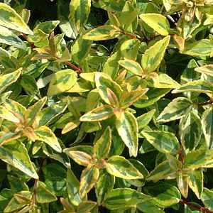 Abelia X Grandiflora Kaleidoscope Pp16988 At San Marcos Growers