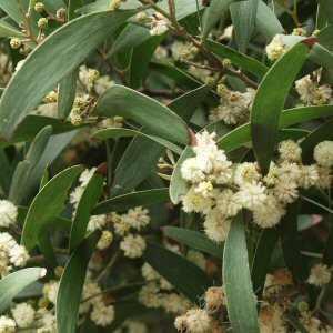 Acacia Melanoxylon At San Marcos Growers