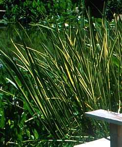 Acorus calamus 'Variegatus' at San Marcos Growers  Acorus Calamus Plant For Sale