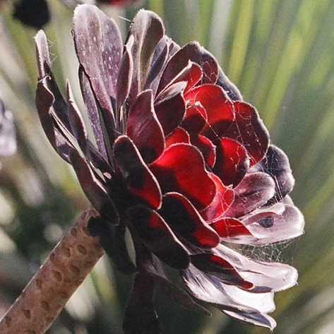 [تصویر:  Aeonium_arboreum_Atropurpureum.jpg]