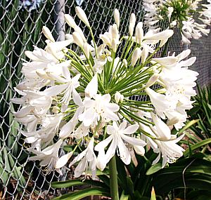 Agapanthus Praecox Ssp Orientalis Getty White At San Marcos Growers