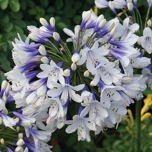 Agapanthus Twister Ambic001 Pp25 519 At San Marcos Growers