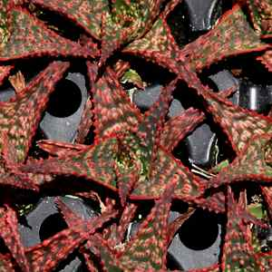 Aloe 'Christmas Carol' at San Marcos Growers