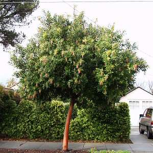Arbutus 'Marina' (Standard) at San Marcos Growers
