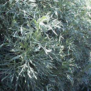 Artemisia Arborescens At San Marcos Growers