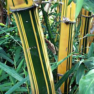 bambusa vulgaris vittata at san marcos growers