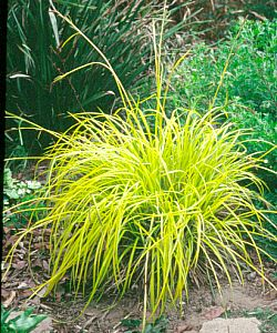 Carex elata 39 bowles golden 39 at san marcos growers for Short variegated grass