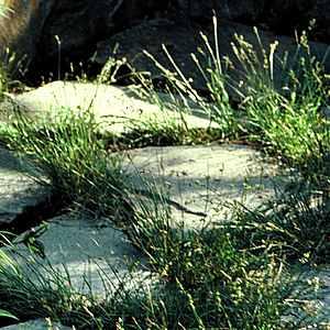 Carex Texensis At San Marcos Growers