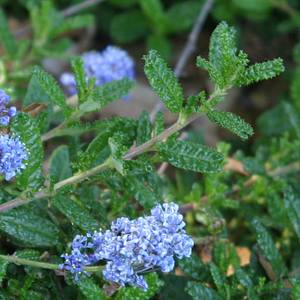 Ceanothus hearstiorum at san marcos growers for Die hard tattoo albany oregon