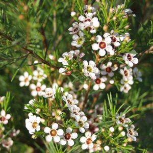 Chamelaucium Uncinatum White At San Marcos Growers