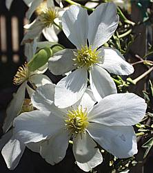 clematis x cartmanii avalanche 39 blaaval 39 at san marcos. Black Bedroom Furniture Sets. Home Design Ideas
