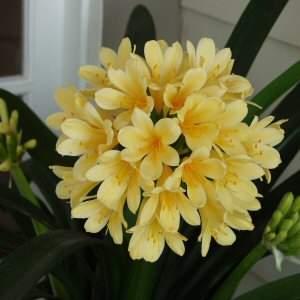 Clivia miniata San Marcos Yellow at San Marcos Growers