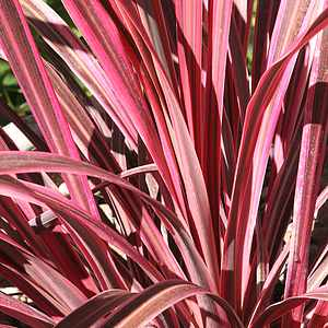 San Marcos Electric >> Cordyline banksii Electric Pink ['Sprilecpink'] PP19,213 at San Marcos Growers