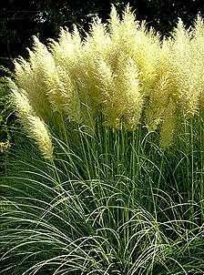 cortaderia selloana 39 pumila 39 at san marcos growers. Black Bedroom Furniture Sets. Home Design Ideas