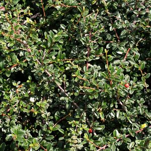 cotoneaster dammeri 39 coral beauty 39 at san marcos growers. Black Bedroom Furniture Sets. Home Design Ideas
