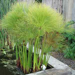 cyperus papyrus 39 dwarf form 39 at san marcos growers. Black Bedroom Furniture Sets. Home Design Ideas