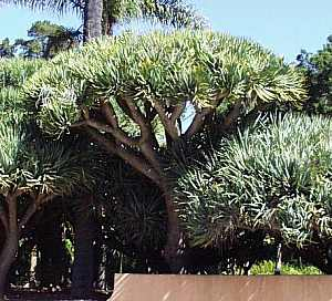 dracaena draco at san marcos growers. Black Bedroom Furniture Sets. Home Design Ideas