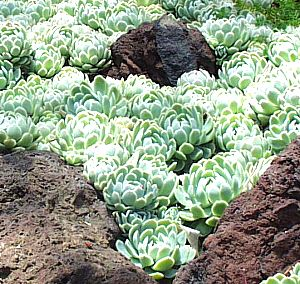 ... station products echeveria elegans echeveria elegans mexican snowball
