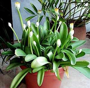 Клубневые и луковичные растения  Все о комнатных