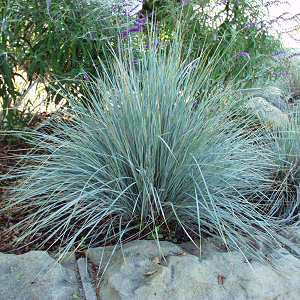 Helictotrichon Sempervirens At San Marcos Growers