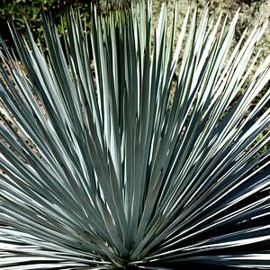 Hesperoyucca whipplei 39 rbg 39 yucca at san marcos growers for Slow growing trees for front yard