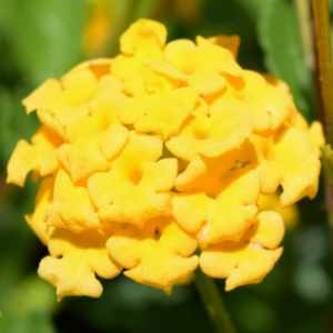 Lantana New Gold At San Marcos Growers