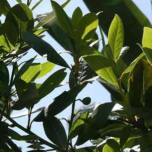 Laurus nobilis (Standard) at San Marcos Growers
