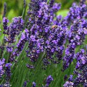 lavandula angustifolia 39 hidcote 39 at san marcos growers. Black Bedroom Furniture Sets. Home Design Ideas