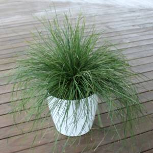 Lomandra Evergreen Baby Lm600 Pp28 260 At San Marcos