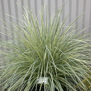 Lomandra Platinum Beauty Roma13 Pp25 962 At San Marcos