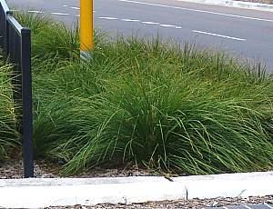 Lomandra Longifolia Breeze Lm300 Pp15 420 At San