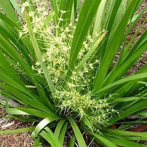Lomandra Hystrix Tropicbelle Lhcom Pp20 759 At San