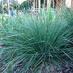 Lomandra Longifolia Nyalla Lm400 Pp15 583 At San