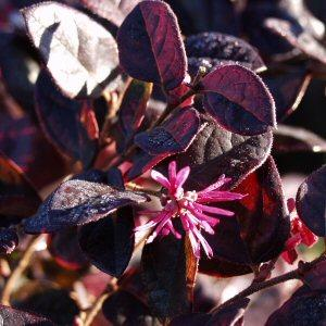 Loropetalum Chinense Var Rubrum Hines Purple Leaf At San Marcos Growers
