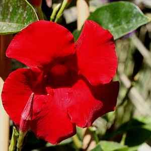 Mandevilla Sun Parasol Giant Crimson Pp17736 Sunmandecrikin At San Marcos Growers