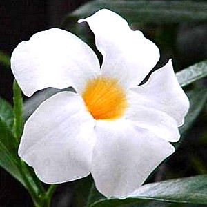 Mandevilla Sun Parasol White Pp11 556 At San Marcos Growers