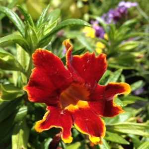 Mimulus \'Fiesta Marigold\' at San Marcos Growers