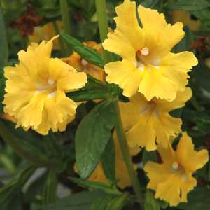 Mimulus georgie yellow pp22945 at san marcos growers mightylinksfo